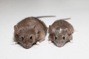 Gough-Island-Mouse-Research-